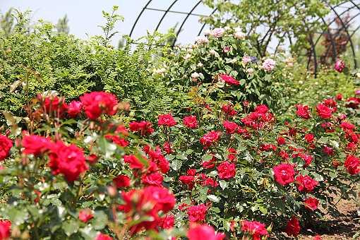 rose1305c_20140527141357741.jpg