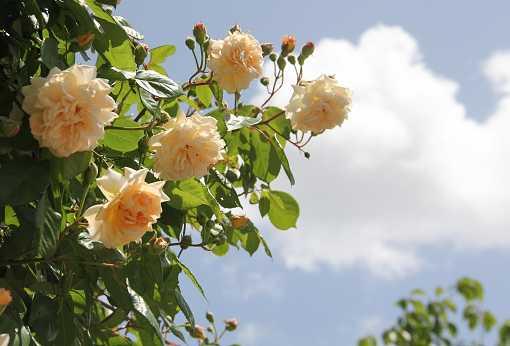 rose1405a.jpg
