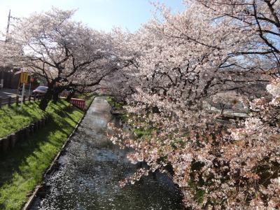 桜201404