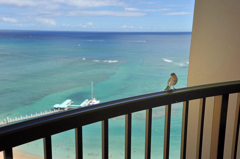 ハワイ ホテルの部屋にピーちゃんがやってきたのでぱちり