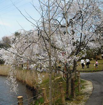 14年04・13桜と新幹線 006