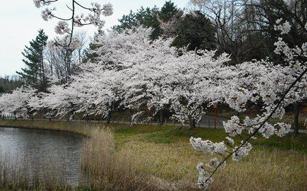 14年04・13桜と新幹線 008