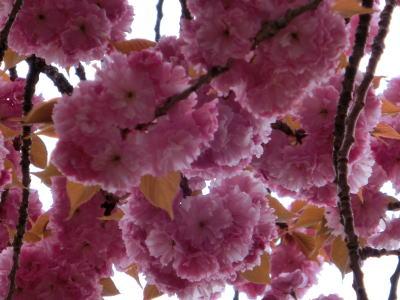 八重桜 11
