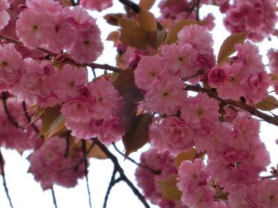 八重桜 10