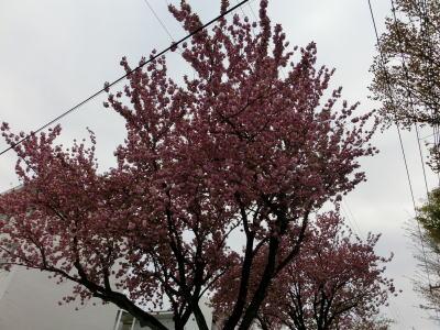 八重桜 9