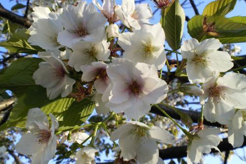 大学構内の桜(26.3.22)