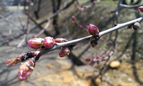 咲きそう(26.4.3)