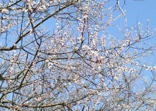 咲き出したロトウ桜(26.4.9)