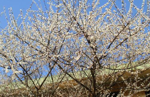 蟻川図書館のロトウ桜(26.4.8)