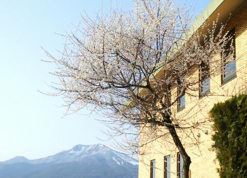 桜と図書館と高社山(26.4.8)