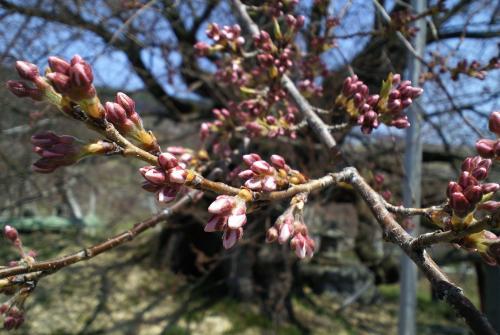 宇木のエドヒガン千歳桜(26.4.15)