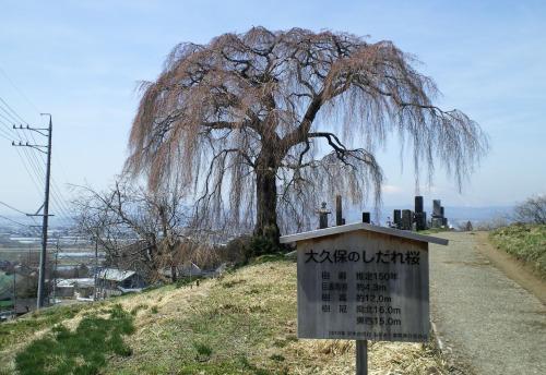 大久保のしだれ桜(26.4.15)