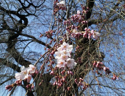 区民会館前のしだれ桜開花(26.4.15)