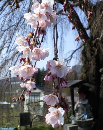 区民会館のしだれ桜アップ(26.4.15)