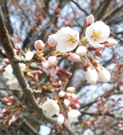 宇木のエドヒガン千歳桜アップ(26.4.16)