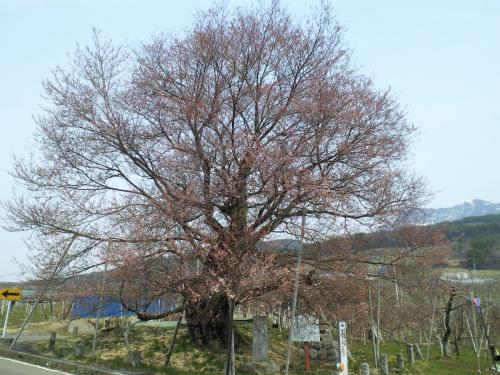 宇木のエドヒガン千歳桜(26.4.16)