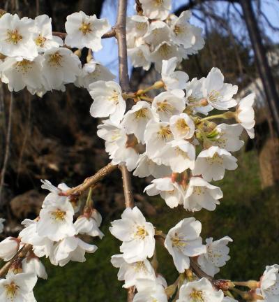 大日庵のしだれ桜アップ(26.4.16)