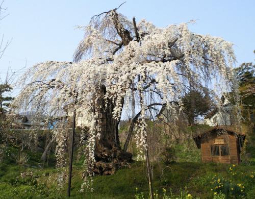 大日庵のしだれ桜三分咲き(26.4.16)