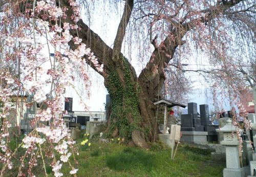 区民会館前のしだれ桜(26.4.17)