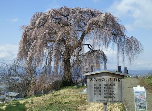 大久保のしだれ桜(26.4.19)
