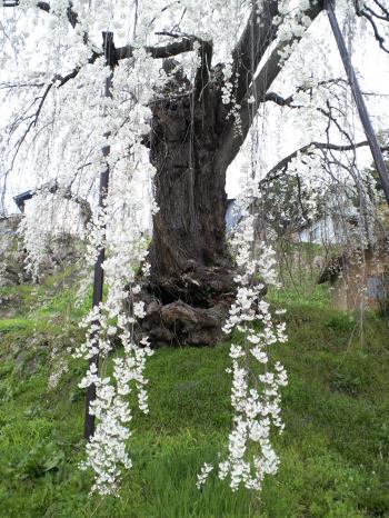 大日庵のしだれ桜(26.4.18)