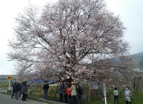 宇木のエドヒガン千歳桜(26.4.18)