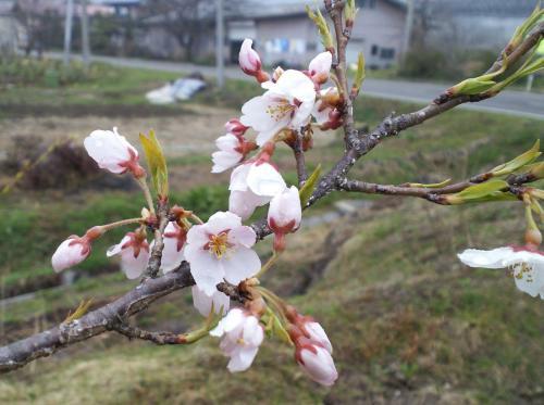 千歳桜の「こども」初開花(26.4.18)