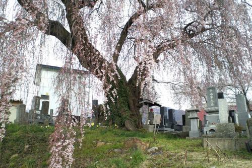 区民会館前のしだれ桜(26.4.19)