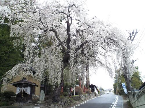 深澤神社のしだれ桜(26.4.21)