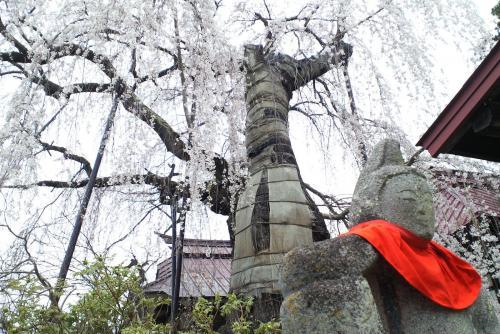 22日の隆谷寺のしだれ桜(26.4.22)