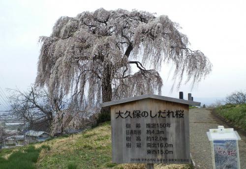 22日の大久保のしだれ桜(26.4.22)