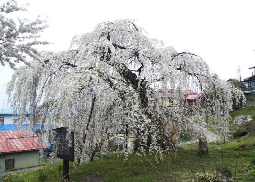 22日の大日庵のしだれ桜(26.4.22)