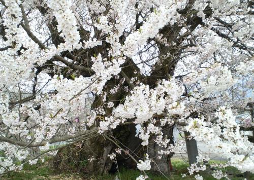 22日の千歳桜(26.4.22)