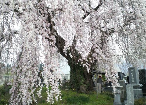 22日の区民会館前のしだれ桜(26.4.22)