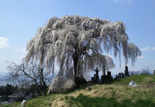23日の大久保のしだれ桜(26.4.23)
