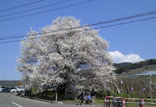 23日の千歳桜(26.4.23)