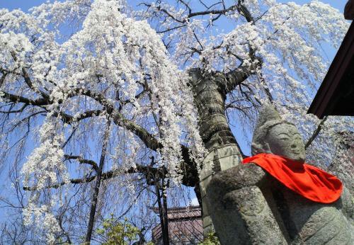 23日の隆谷寺のしだれ桜(26.4.23)