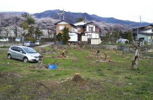 西小学校前のリンゴ畑(26.4.24)