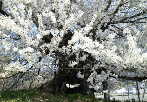 宇木のエドヒガン千歳桜(26.4.24)