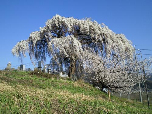 大久保のしだれ桜(26.4.24)