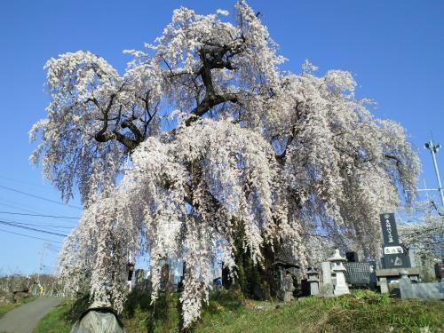 区民会館前のしだれ桜(26.4.24)