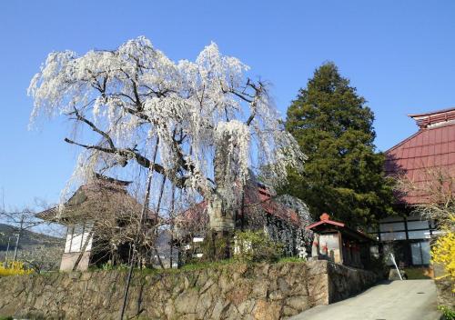 隆谷寺のしだれ桜(26.4.24)