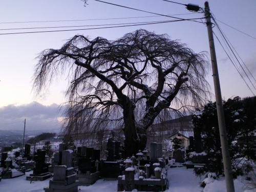 1月3日の区民会館前のしだれ桜(26.1.3)