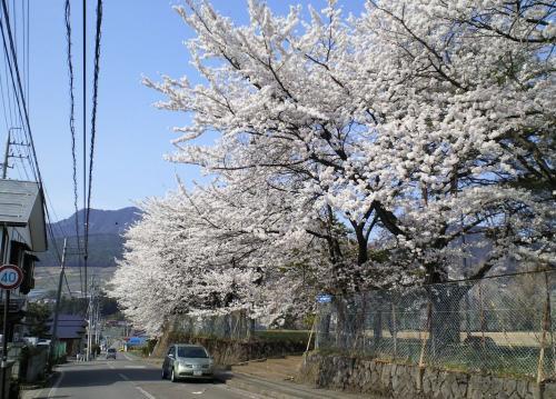 西小学校の桜(26.4.25)