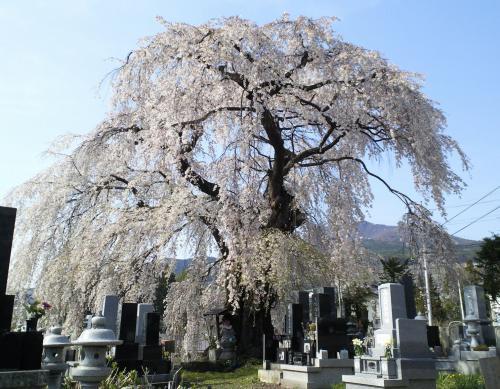 区民会館前のしだれ桜(26.4.25)