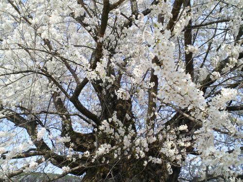 宇木のエドヒガン千歳桜(26.4.25)