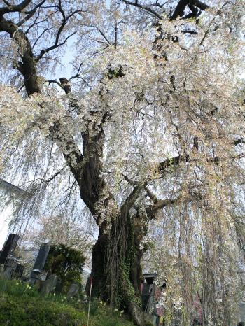 区民会館前のしだれ桜(26.4.27)