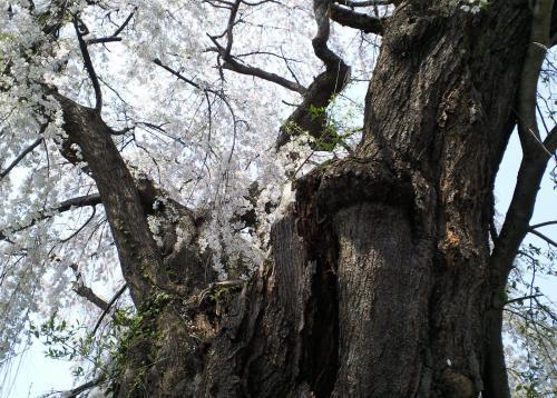 区民会館前のしだれ桜の幹(26.4.26)