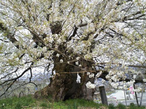 千歳桜(26.4.28)