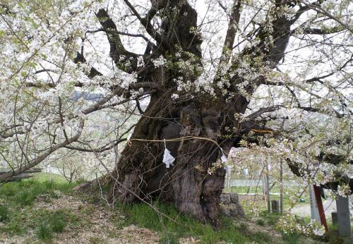 千歳桜(26.4.29)